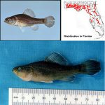 Pirate Perch (Aphredoderus sayanus) Top photo © Noel Burkhead, bottom photo © George Burgess