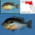 Redbreast Sunfish specimens and range map