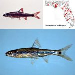 Taillight Shiner (Notropis maculatus) Top photo © Lawrence Page, bottom photo © Noel Burkhead