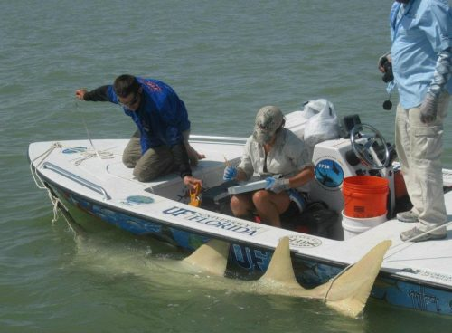 FPSR researchers tagging a smalltooth sawfish in the Florida Everglades. Photo FLMNH
