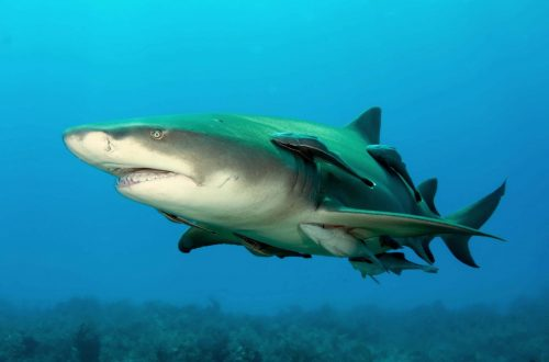 Lemon shark. Photo © Albert Kok, Wiki commons