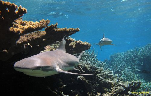 Blacktip reef sharks, Kingman Reef. Photo © USFWS-Pacific Region
