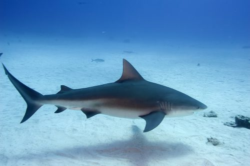 Bull shark in the Bahamas. Photo © David Snyder