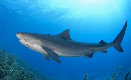 Tiger shark in the Bahamas. Photo © David Snyder
