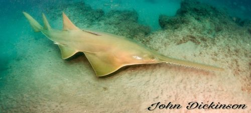 Smalltooth Sawfish in Florida. Photo John Dickinson