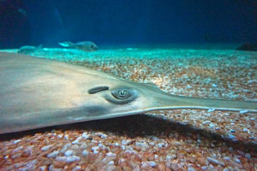 Green sawfish at the Aquarium of Genoa. Photo from Tiia Monto, Wikicommons