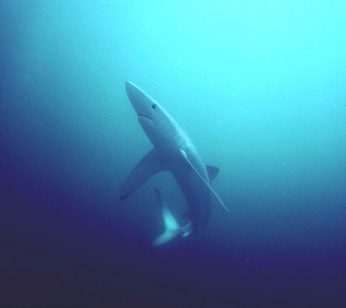 Blue shark. Photo © Greg Skomal