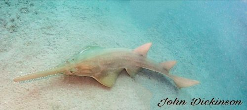 Smalltooth sawfish in Florida. Photo © John Dickinson