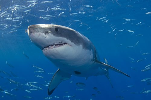 White Shark photo © Mauricio Hoyos
