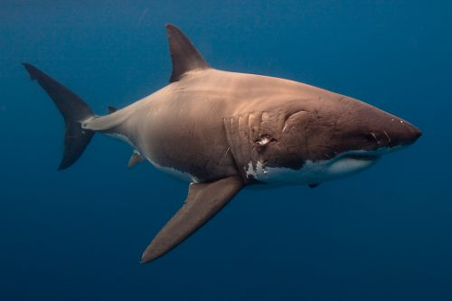 White shark with mating scars. © Mauricio Hoyos