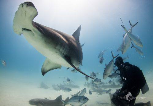 A great hammerhead and diver in the Bahamas. Photo © Petra Oberucova