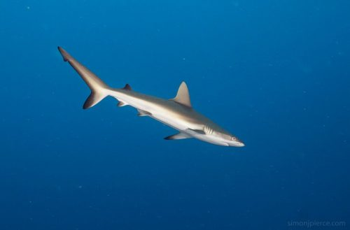 Grey Reef Shark. Photo © Simon Pierce