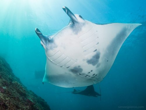 The reef manta ray. Photo © Simon Pierce