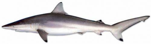 Spinner shark. Photo © NMFS
