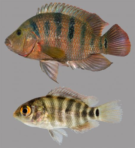 Photo of adult and juvenile Mayan Cichlid