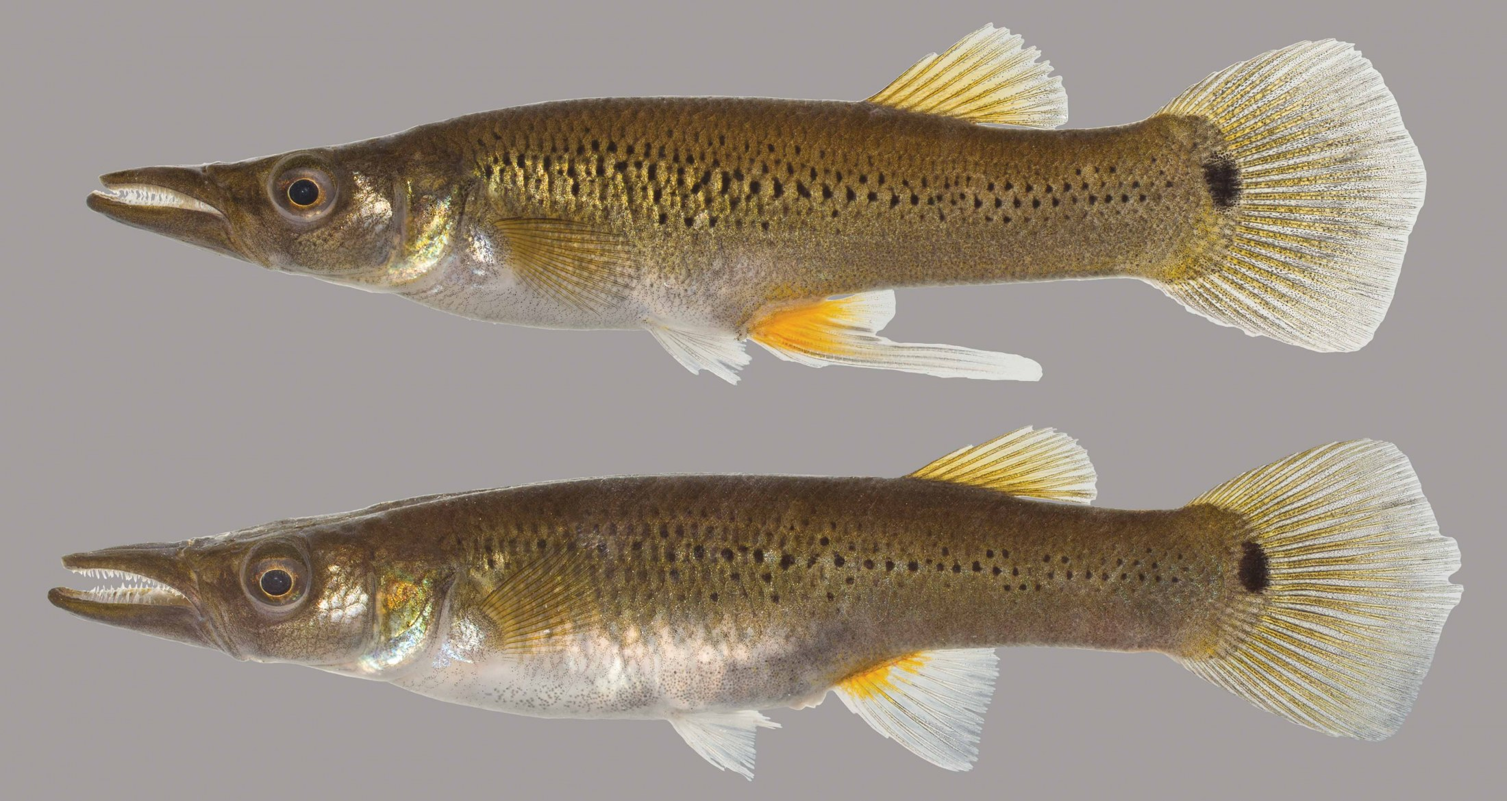 Lateral view of pike killifish