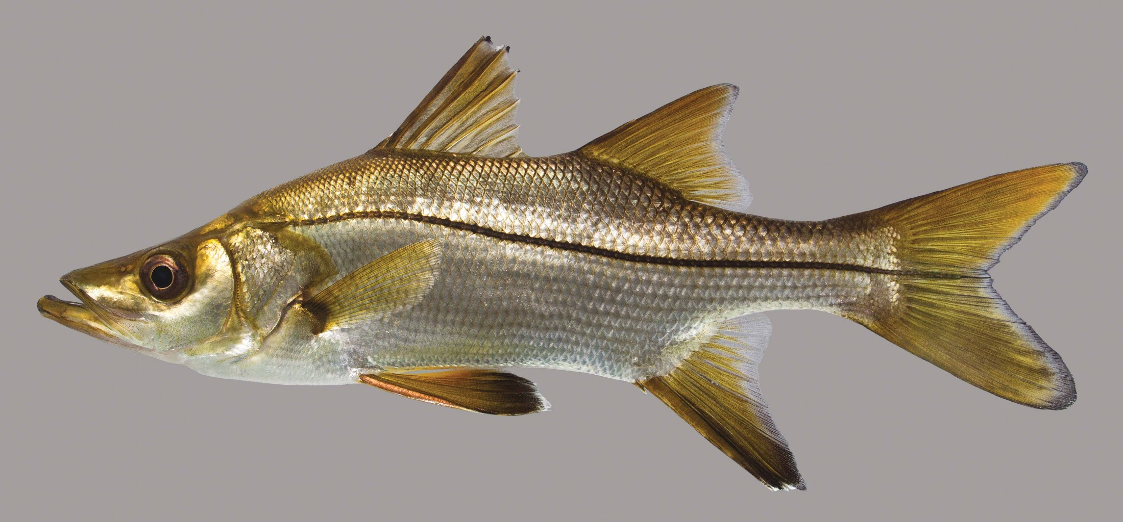 Lateral view of a tarpon snook