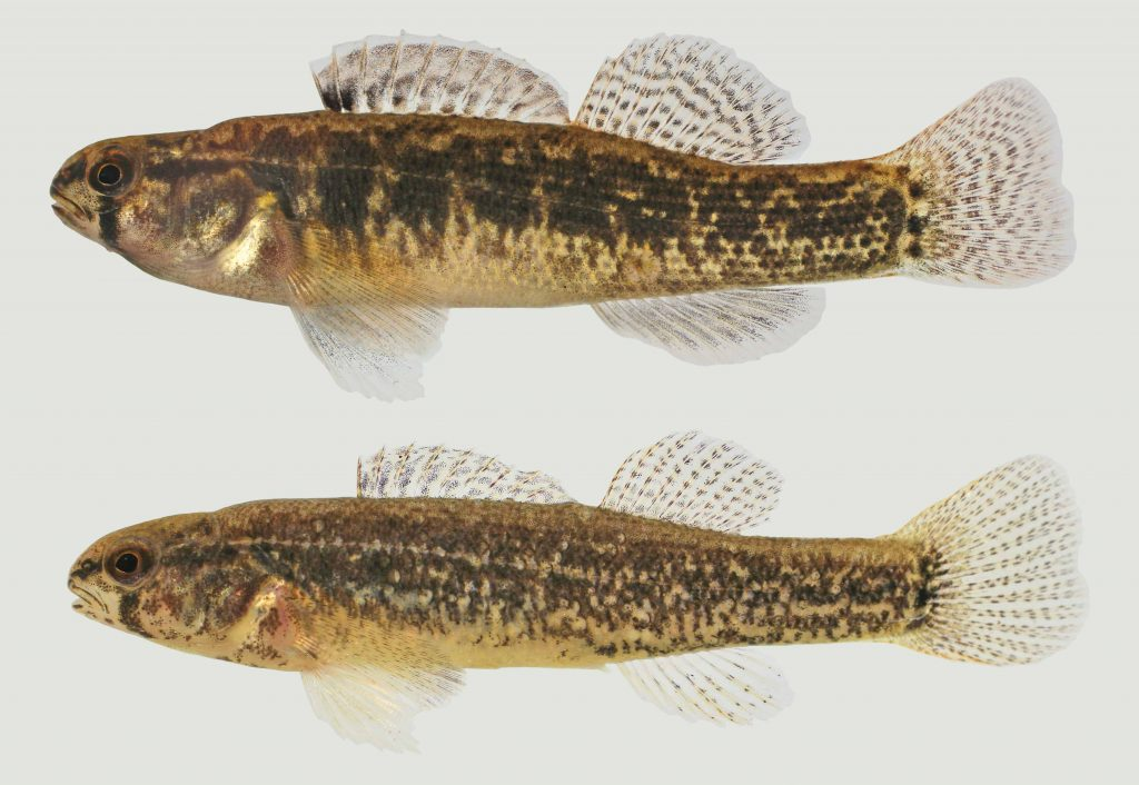 Lateral view of two goldstripe darters