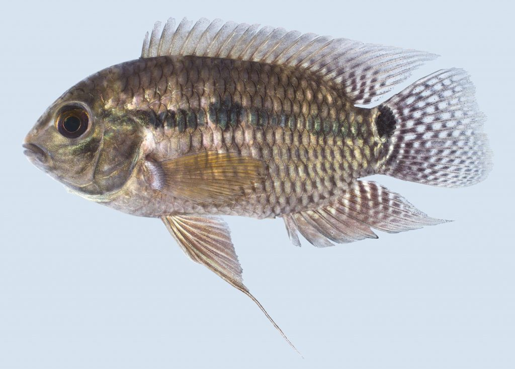 Lateral view of a black acara