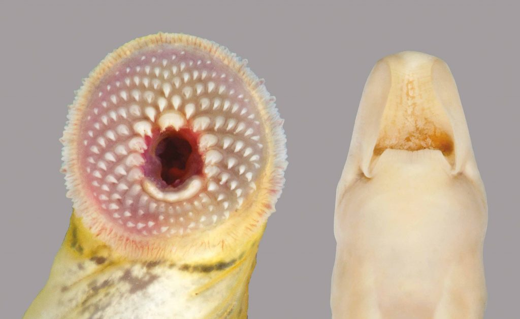 The mouth of a Southern Brook Lamprey