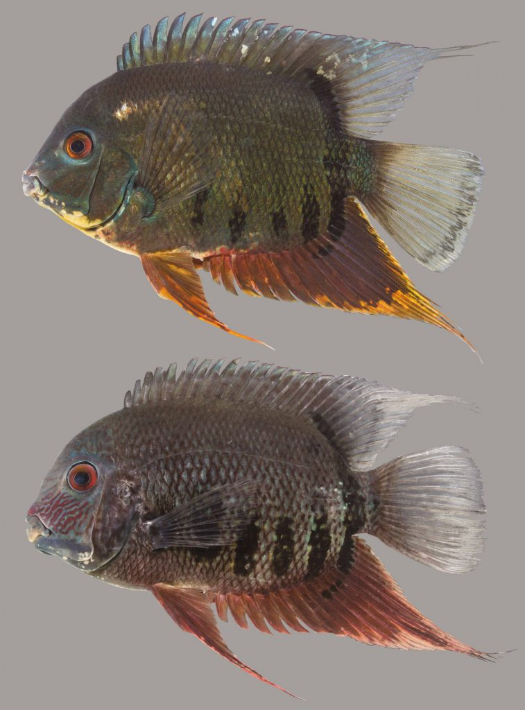 Lateral view of two banded cichlids