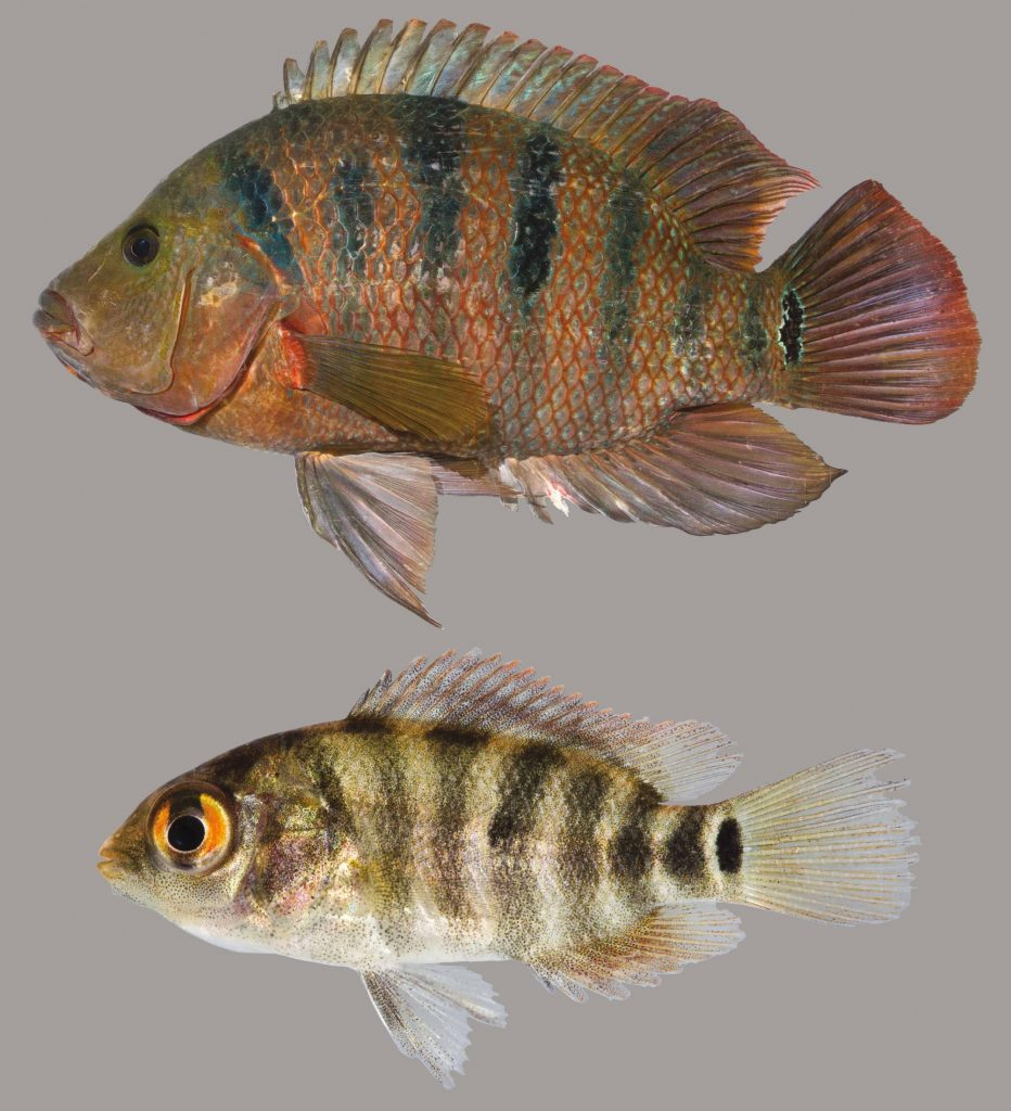 Lateral view of two Mayan cichlids