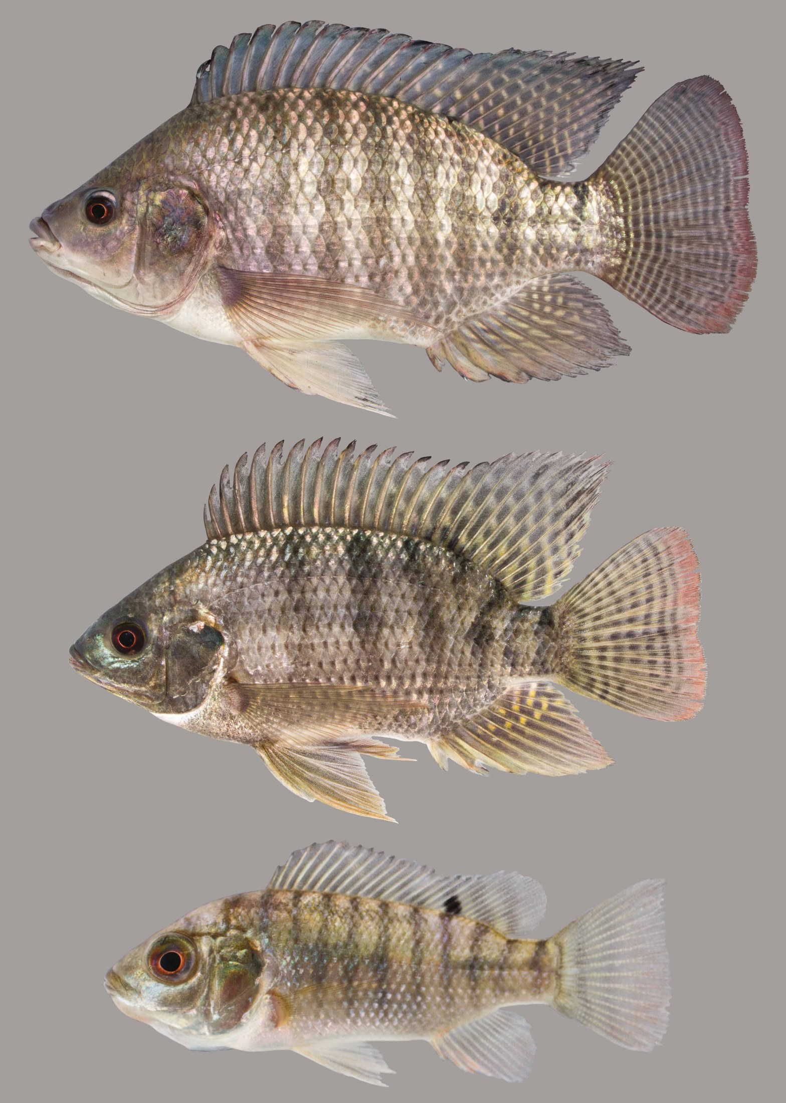 Lateral view of Nile tilapia