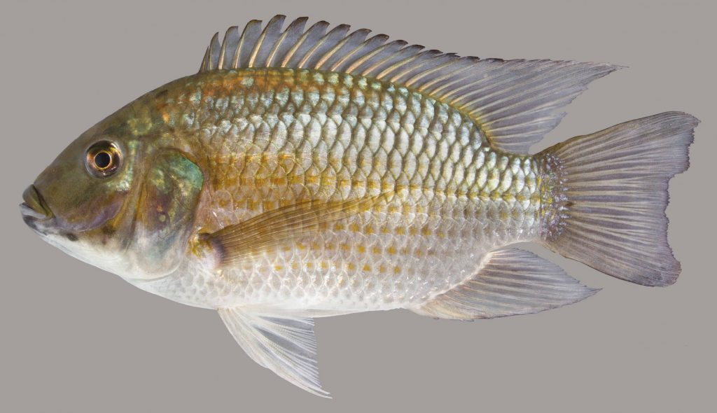 Lateral view of a blackchin tilapia