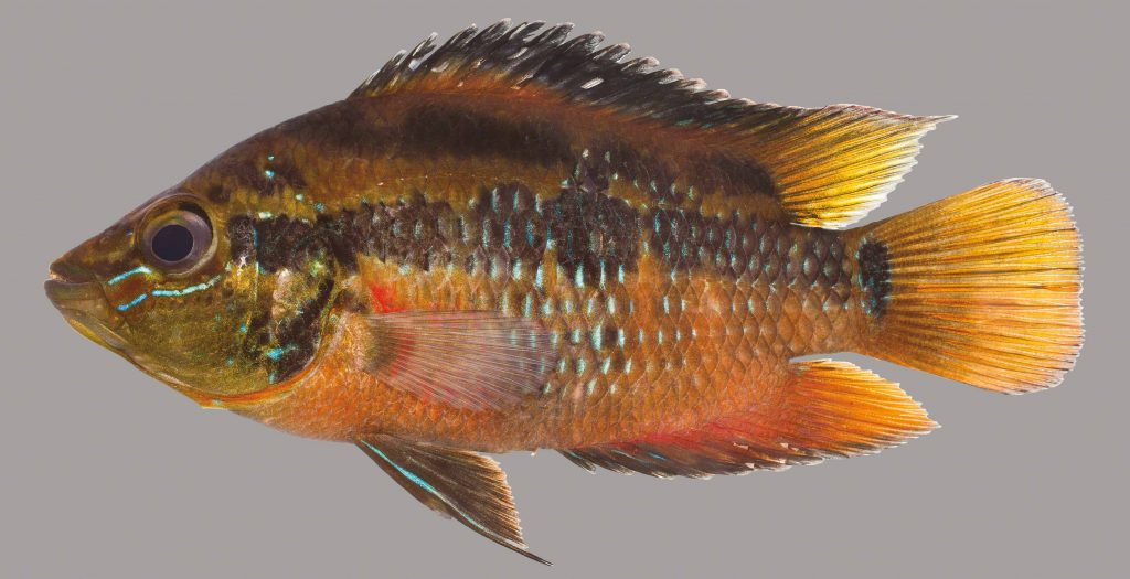 Lateral view of a yellowbelly cichlid