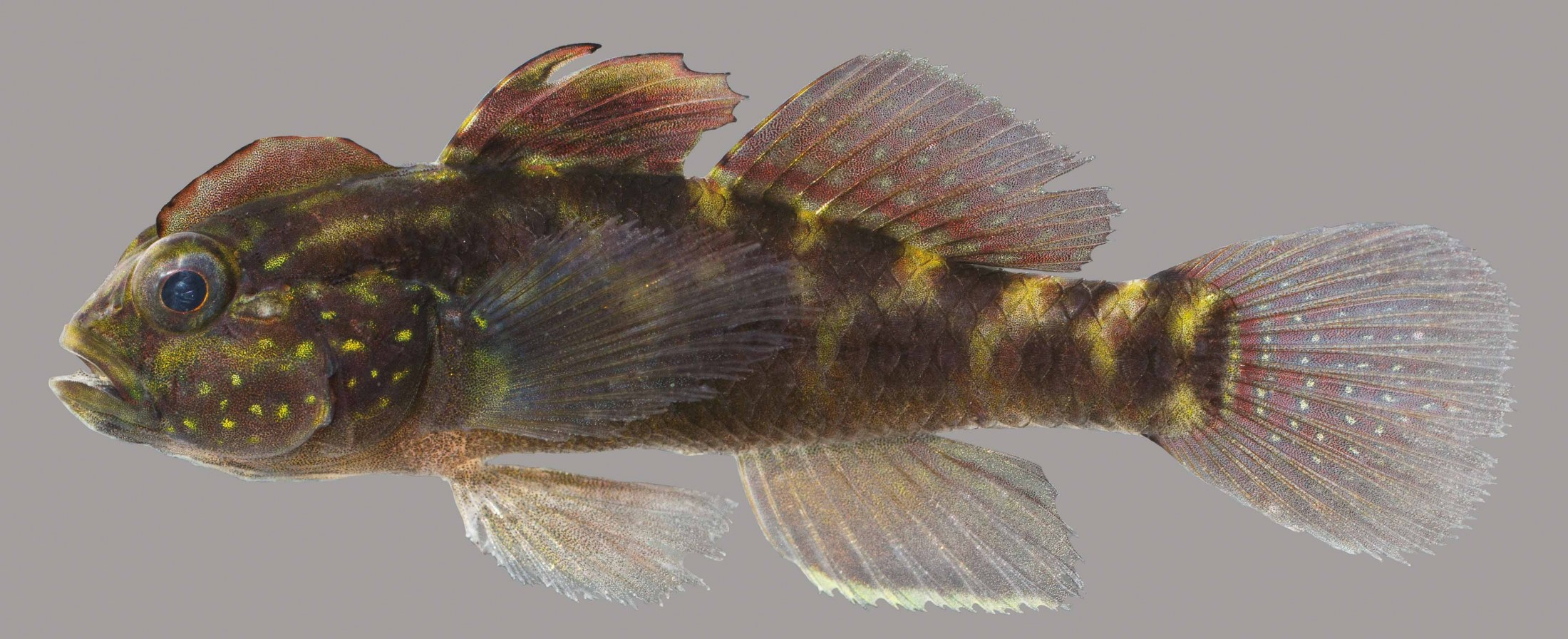 Lateral view of a crested goby