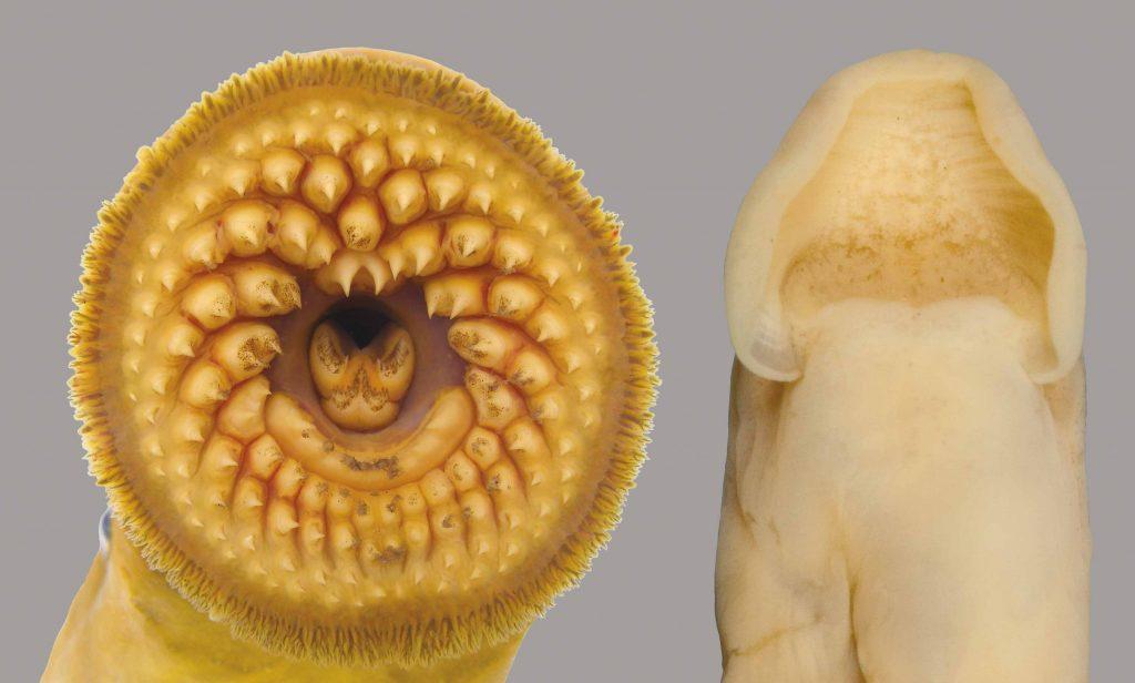 Close-up of a sea lamprey's oral disc