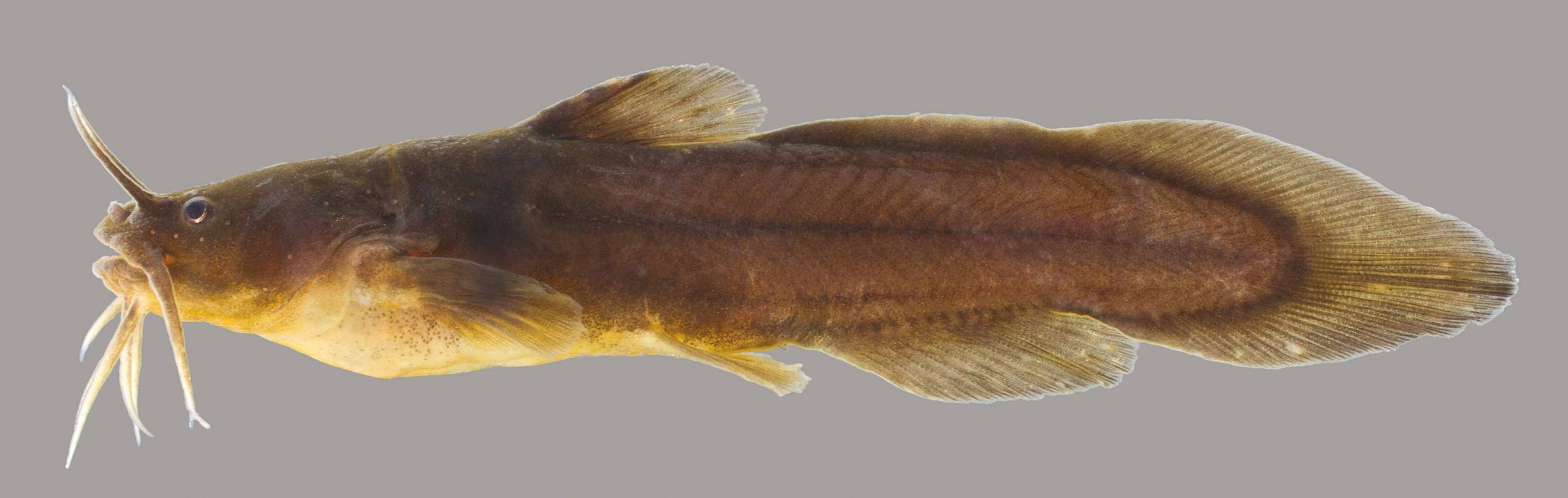 Lateral view of a tadpole madtom