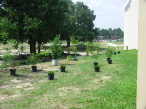 Potted trees waiting to be planted