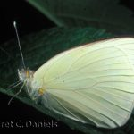 Great Southern White male