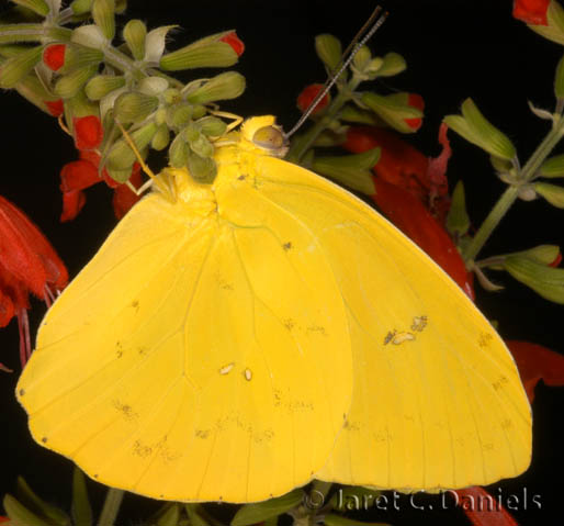 Orange-barred Sulphur male