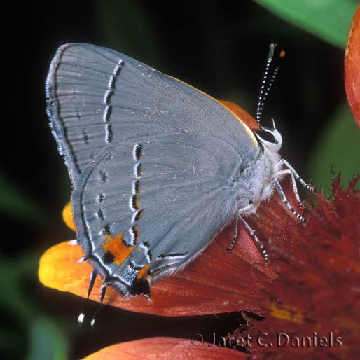 Gray Hairstreak ventral