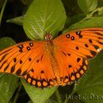 Gulf Fritillary male