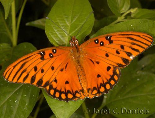 Gulf Fritillary Florida S Wildflowers Butterflies
