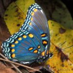 Red-spotted Purple ventral