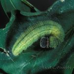 Tropical Checkered Skipper larva