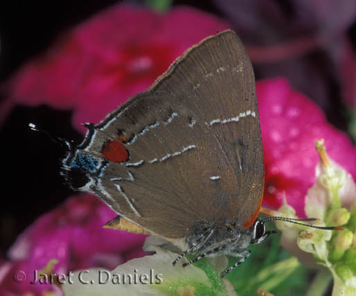 White M Hairstreak