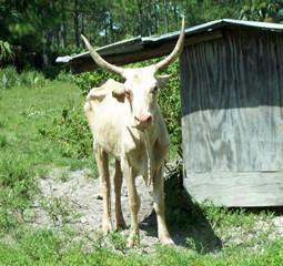 Florida scrub cow
