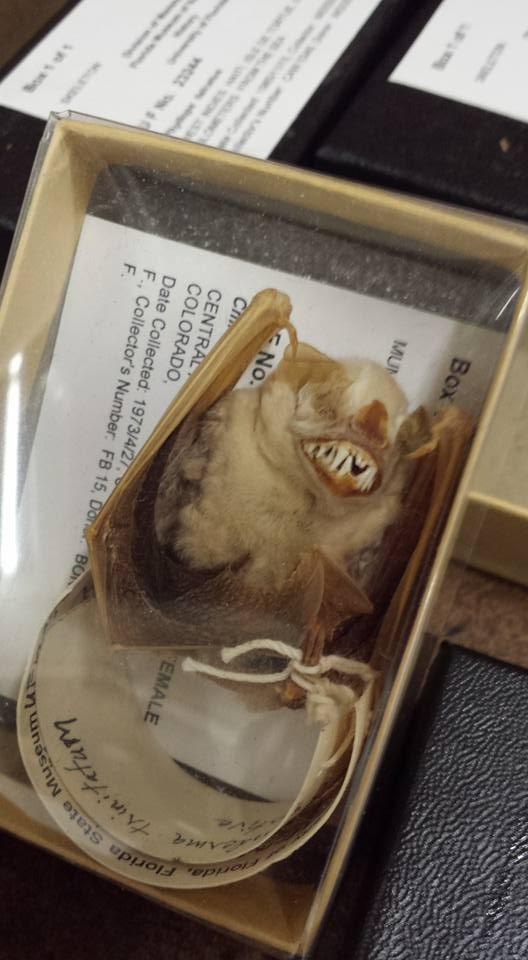 Mummified bat