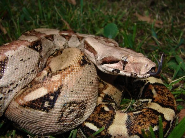 A modern Boa constrictor imperator, which is a subspecies of Boa constrictor. Photo © Esteban Alzate.