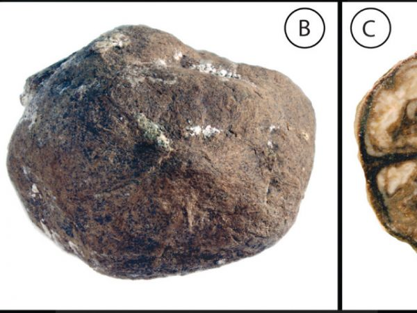 UF 00621-59109, the holotype of Oreomunnea grahamii. The specimen is shown in a lateral view (A), an apical view (B), and in cross section (C). Figure modified from Herrera et al. 2014.