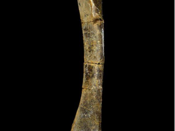 UF 243751, an artiodactyl tibia. Photo © VP FLMNH.