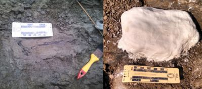 A large fossil vertebra we found at a locality under Puente Centenario, and its completed plaster jacket. Photo courtesy of Dipa Desai.