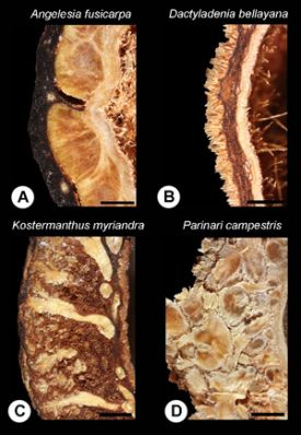 Figure 2. Endocarp walls of some Chrysobalanaceae species. Scale bar=1mm. Photo courtesy of Carolyn Thornton.