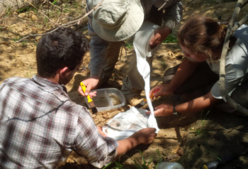 Spring 2015 field interns Jeremy Dunham, Adam Bouché and Sophie Westacott make a jacket for a fossil at Lake Alajuela. Photo courtesy of Jeremy Dunham.