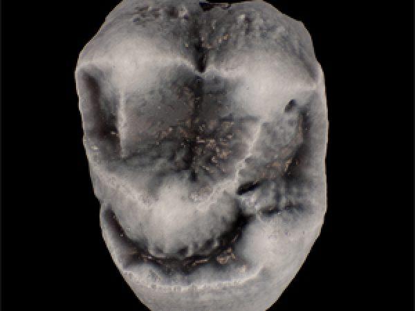 UF 280128, the left upper first molar (M1) and holotype of Panamacebus transitus. Photo courtesy of Aldo Rincon.